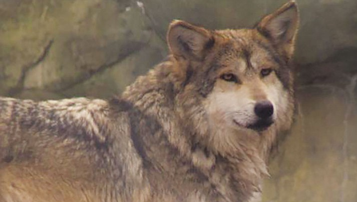 Mexican Gray Wolf: The reintroduction of a predator