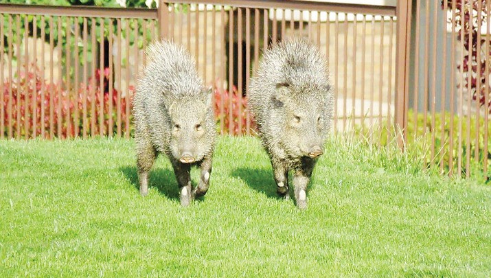 Prescott's new wildlife-feeding ban specific to types of animals