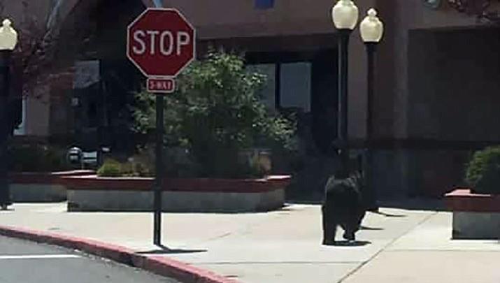 UPDATE: Bear eludes capture in Prescott
