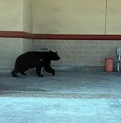 Bear sightings continue in Prescott photo