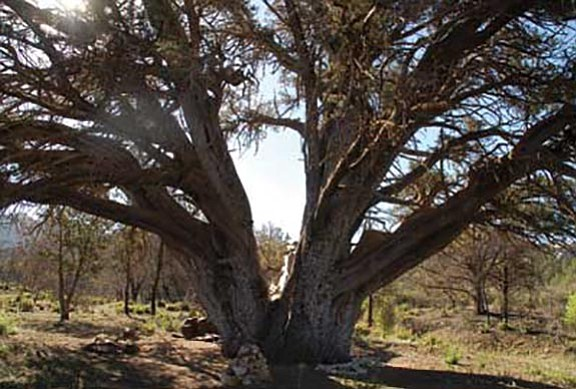 The ancient juniper tree that the Granite Mountain Hotshots saved during the Doce Fire.