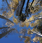 Prescott's forests feature pockets of full fall glory (VIDEO, MAP) photo