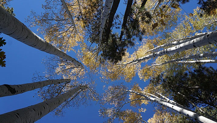 Prescott's forests feature pockets of full fall glory (VIDEO, MAP)