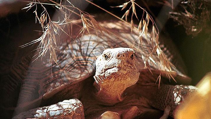 Talks underway to create habitat near Kingman for endangered desert tortoise