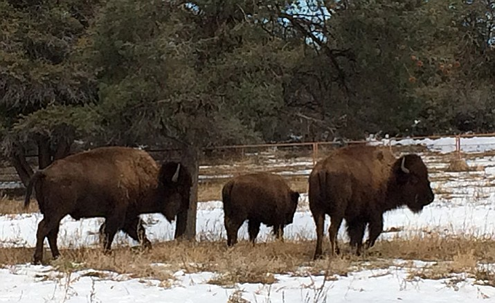 The Steidinger family's three buffalo enjoy the snow and colder weather after Christmas on their property out Williamson Valley Road.