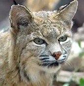 Bobcat put down after attacking four people in Sedona photo