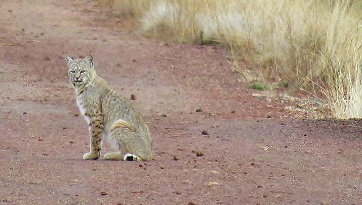 Bobcat incident reminder of what not to do with wildlife