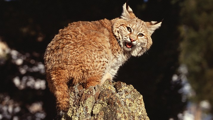 Rabid bobcat put down after attacking four people in Sedona