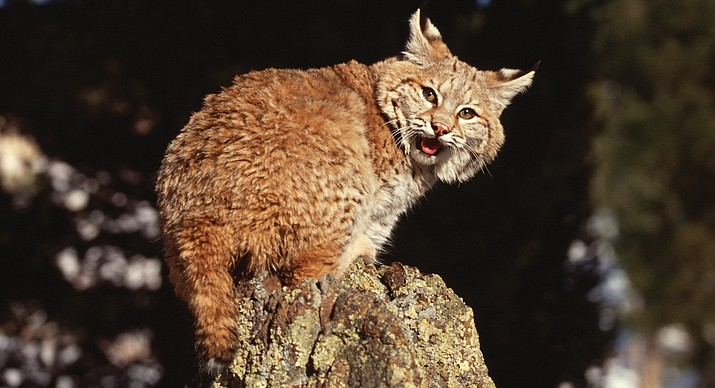 A bobcat was put down after attacking four people in the Sedona area Jan. 12. Positive rabies results were reported Jan. 13. (Metro Creative Connections Image)