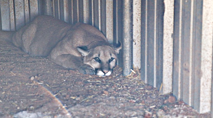Orphaned mountain lion cub grows into new life at Out of Africa center