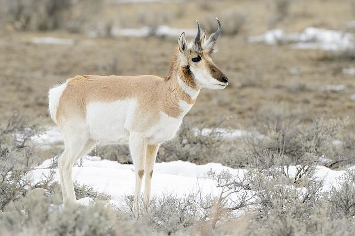 Pronghorn antelope require a special big game permit.
