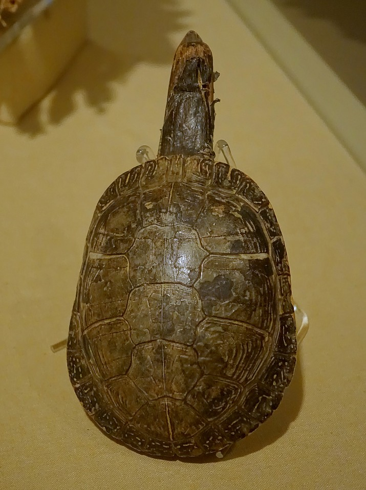 One of the most coveted wildlife items for Hopi are tortoise shells. Hopi don't have access to tortoise shells needed to make Hopi traditional tortoise rattles. (Photo by Daderot, public domain)