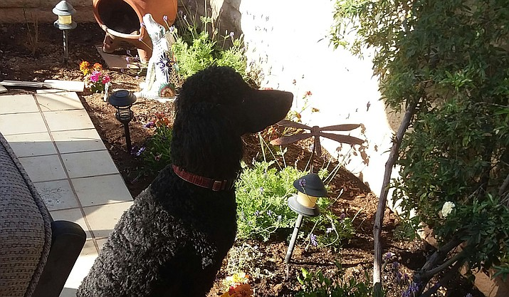 Every dog needs a job, even if it is just keeping a watchful eye out for those very dangerous lizards! that lurk in the bushes. (Christy Powers/Courier)