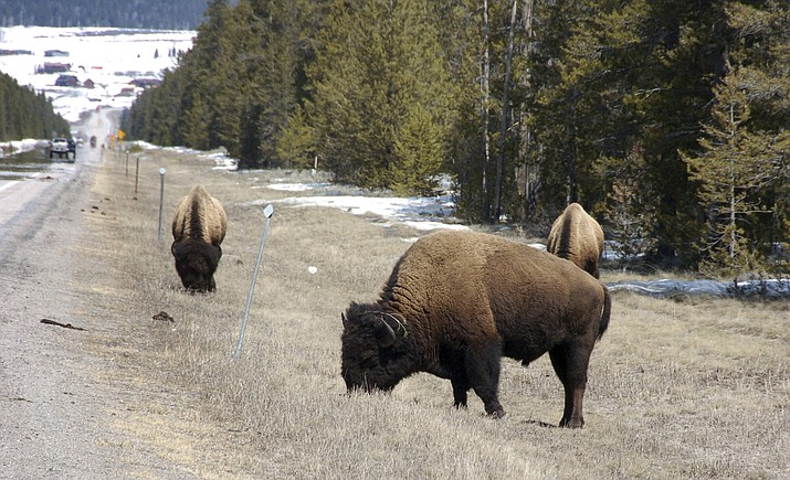 Bison graze along a state highway near West Yellowstone, Mont. (AP Photo/Matthew Brown, File)