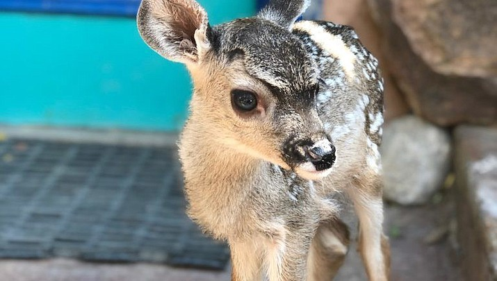 Orphaned deer fawn finds home at Bearizona