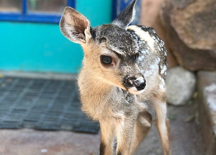 Bearizona Wildlife Park adopted a three-week-old fawn recently orphaned after its mother was hit by a car. (Photo/AZGFD)