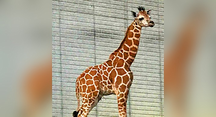 Out of Africa Wildlife in Camp Verde is fund-raising to adopt this baby giraffe after the death of its popular giraffe earlier this year. Photo courtesy of Out of Africa