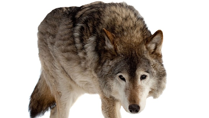 Wolf pack being monitored has disappeared, reasons still unknown