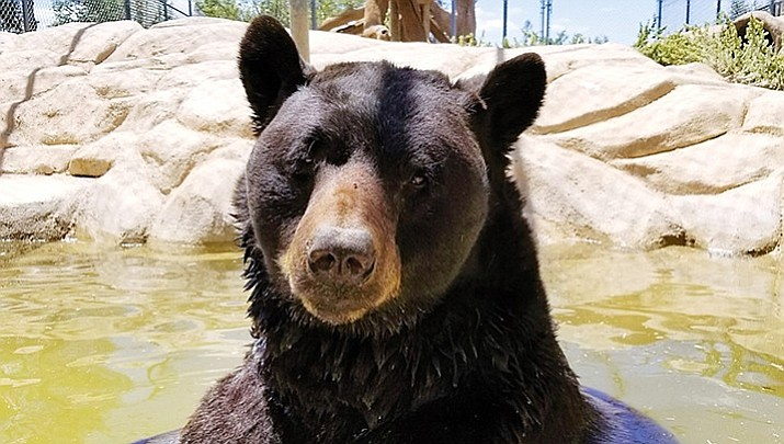 Heritage Park Zoo's 24-year-old bear recuperating after surgery