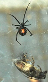 Black Widow (shown) and Brown spiders are the most dangerous in Arizona.<br> Courtesy Photo
