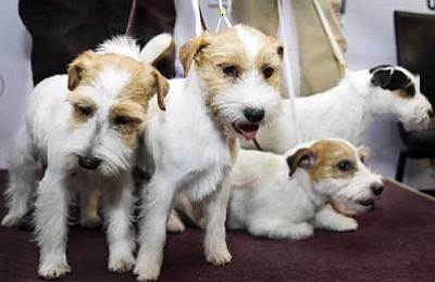 Seth Wenig/The Associated Press<br>Russell Terriers are one of two breeds competing for the first time this year in the 137th Westminster Kennel Club Dog Show, which is scheduled to begin on Feb. 11.