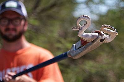 Jeffrey Hill, field agent for Rattlesnake Solutions, hoists a baby rattlesnake captured at an Ahwatukee home before releasing it in a desert wash. The state requires him to let captured snakes go within a mile of where they are caught. (Cronkite News Service Photo by Peter Haden)