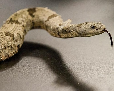 A banded rock rattlesnake kept at the Phoenix Herpetological Society. The species is one of five venomous reptiles protected in Arizona that are popular targets for poachers, officials say. (Cronkite News Service Photo by Peter Haden)