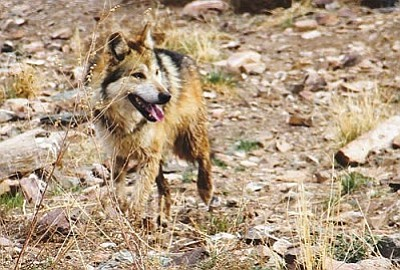 Mexican gray wolf. (Photo courtesy U.S. Fish & Wildlife Service)