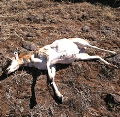 A pronghorn doe was illegally killed in Game Management Unit 10.