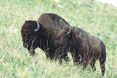Bison, like these in Montana, are causing environmental damage in the North Rim of the Grand Canyon National Park, where the animals are not native. (Photo by Ryan Hagerty/U.S. Fish and Wildlife Service)