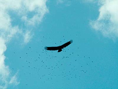 Vulture migration setting off from Costa Rica.