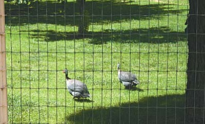Camp Verde Town Code Chapter 6 Section 6-7-1 states that the guineas roaming wild in Jordan Meadows are not allowed to live in the neighborhood unless they are caged. Camp Verde Town Council will discuss the guinea fowl at Wednesday's regular session. Photo by Aryssa Carvalho