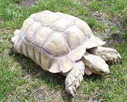 Wayne Fischer's pet tortoise named Sarge is an African Spurr, will grow to about 200 pounds and can live to be from 80 to 100 years old.