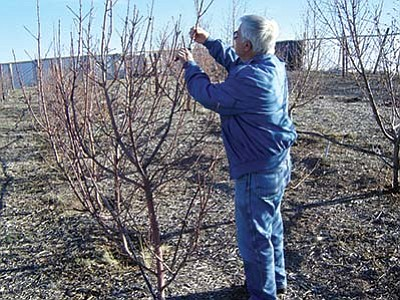 Tom Kraus of Paulden trim some of his fruit trees. He and his wife brought in some bees to help pollinate his trees. (Courtesy photo)