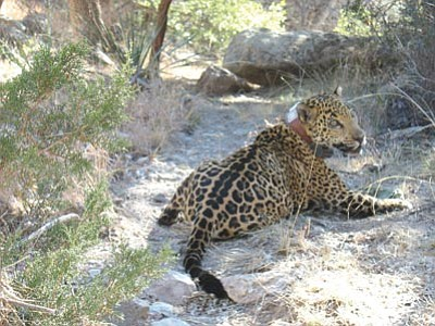 Courtesy AG&FD<br> Macho B, pictured here in early 2009, was the last jaguar sighted in Arizona until this month's sighting by a hunter.