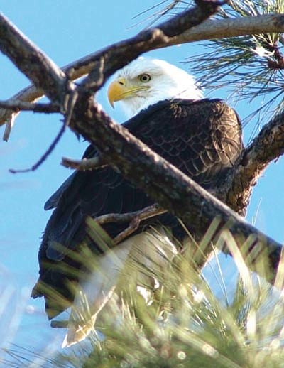 Les Stukenberg/The Daily Courier<br> A bald eagle sits in a pine tree above Lynx Lake in this Daily Courier file photo.