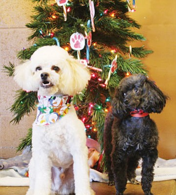 Courtesy photo<br>Fiesta is a delightful 3-year-old white miniature poodle who gets along with other dogs and kids and is housebroken. Amy is a sweet 6-year-old black toy poodle who is housebroken and is good with other dogs and cats. She is OK with older children, but would do best in a quieter home. Both dogs are available for adoption on Saturday at 10:30 a.m. If more than one person is interested in an animal, a silent auction will be held.