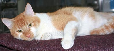 Pancake was rescued by YHS after being hit by a car. Both his hind legs were fractured, leaving his hind quarters flat as a pancake. His right femur had a simple oblique fracture, and the left tibia had a compound fracture, requiring surgery to re-align and stabilize. The pins and external fixation apparatus were removed recently, and he is doing well and is available for adoption today. In most shelters, Pancake would be euthanized. Thanks to donations to the YHS STAR (Special Treatment and Recovery) program, Pancake is able to walk and live a normal life again. If you want to help animals like Pancake, please make a donation to the YHS STAR program.