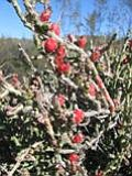 Mystery Plant: Cactus named for the most famous holiday of the year, offering some winter color with its bright red fruits.