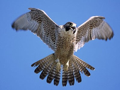 Courtesy photo<br>Three types of falcon were spotted at a recent  outing to Watson Lake.