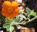 Mystery Plant: Same family as Creosote, and often mistaken for a poppy in Arizona.  Name?