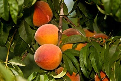 Courtesy photo<br>The Ranger Peach blooms later than other varieties  and produces better local harvests.