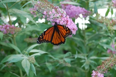 Courtesy photo<br>Monarch populations have decreased across North America.