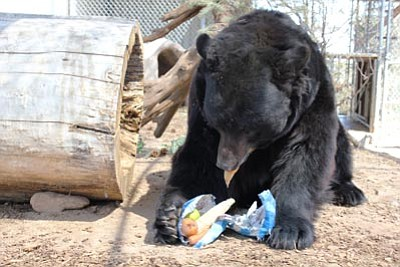 Courtesy HPZS<br> Shash the bear gets a huge Easter egg at last year's Eggstravanga at the Heritage Park Zoological Sanctuary in Prescott.
