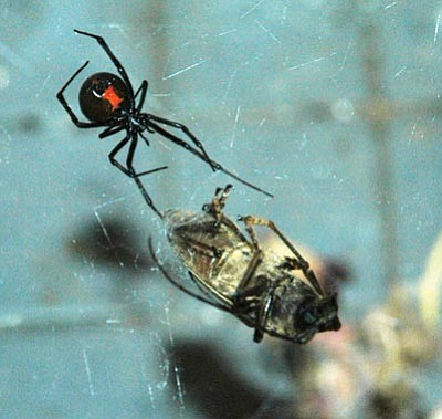 Courtesy Photo<br> The black widow is one of two types of spiders in this area considered to be dangerous to humans.