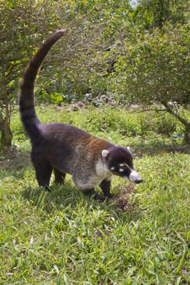 Pet coati not rabid but loses its life: Game and Fish