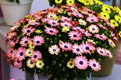 Courtesy photo<br>Serenity is the magic exuded by the color-changing blooms of this new osteospermum.