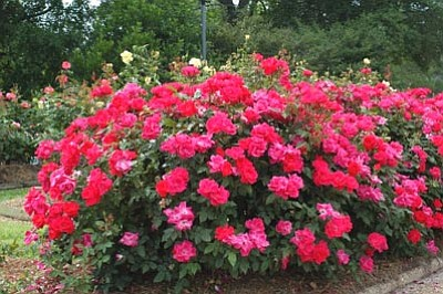 Courtesy photo<br> Aptly named, knockout roses stun the senses.