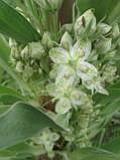 Mystery Plant: The ears of a deer my dear.  Look familiar?