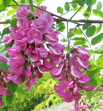 Courtesy photo<br> With little or no care, wisteria-like flower clusters adorn the Prescott Purple Locust well into June.